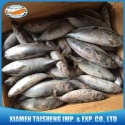 frozen bonito fish whole round - product's photo