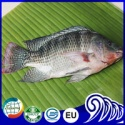 iced black tilapia whole round live fish farm - product's photo