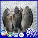 frozen farming whole tilapia fish - product's photo