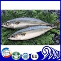 frozen scientific name of mackerel fish - product's photo