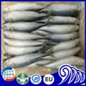 frozen pacific mackerel with big size - product's photo