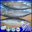 frozen pacific mackerel seafood fish - product's photo