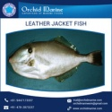 frozen fresh leather jacket fish - product's photo