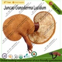 manufacturing plant juncao ganoderma lucidum fruit body - product's photo