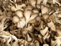 fresh oyster mushroom - product's photo