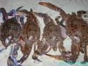 fresh blue crab - product's photo