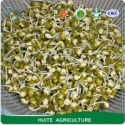 dry green mung bean 2.5-2.8mm size for sprouting - product's photo