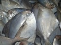 chinese pomfret - product's photo