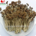tea tree mushroom - product's photo