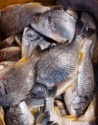 seabream fish - product's photo