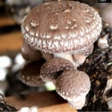 shiitake mushroom log - product's photo