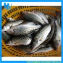 frozen seabass - product's photo
