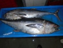 frozen long tail tuna whole - product's photo