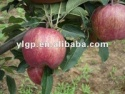 red delicious apple - product's photo
