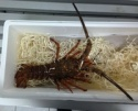 juan fernandez rock lobster - product's photo