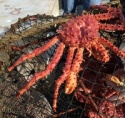 king crab live/frozen - product's photo