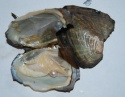 5-6cm vacuum packed fresh water oyster - product's photo