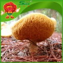 natural monkey head mushroom with high quality - product's photo