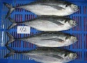 frozen horse mackerel - product's photo
