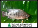 frozen tilapia fish - product's photo