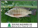 tilapia fish whole round size 300-500 - product's photo