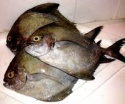 black pomfret fish - product's photo