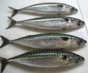 seer fish - product's photo