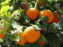 turkish orange  - product's photo