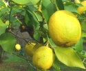turkish citron lemon - product's photo