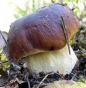 hot sale high quality porcini mushrooms - product's photo