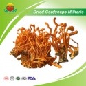 dried cordyceps militaris - product's photo