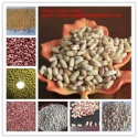 light speckled kidney bean pinto beans sugar beans - product's photo
