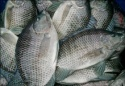 frozen tilapia whole round fish - product's photo