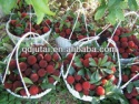 canned waxberry ls - product's photo