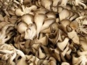 iqf oyster mushroom - product's photo