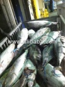 frozen whole tuna fish - product's photo