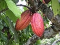 cacao from peru 'criollo' - product's photo