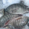 tilapia whole round - product's photo