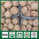 shiitake mushroom spawn - product's photo