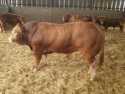 limousin cattle,bulls - product's photo