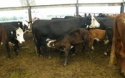 heifer holstein cattle for milk - product's photo