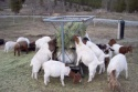 boer goats with full blood - product's photo