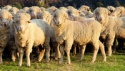 merino sheep - product's photo