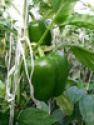 bell pepper - product's photo
