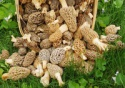 fresh morel/morchella esculenta - product's photo