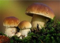 boletus edulis - product's photo