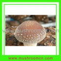 shiitake fungus - product's photo