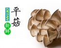 source oyster mushroom - product's photo