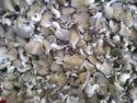 dried hot sell oyster mushroom - product's photo