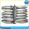 best quality fresh scomber japonicus mackerel - product's photo